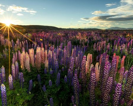 Christchurch, Queenstown and the Lupins